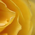 Carol Welsh - Yellow Rose Petal...
