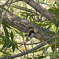 KD Johnson - Yellow Rumped Warbler