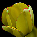 Debbie Oppermann - Yellow Tulip With A Hint...