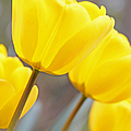 Jennie Marie Schell - Yellow Tulips in the...