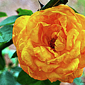 Sandi OReilly - Yellow With Peach Rose