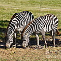 Double B Photography Carol Bradley - Yipes Double Stripes