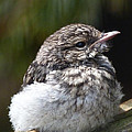 Margaret Saheed - Young Hooded Robin