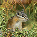 Doug Herr - Young Least Chipmunk