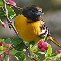Bruce Bley - Young Male Oriole