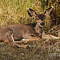 Robert Bales - Young Mule Deer