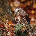 Inspired Nature Photography By Shelley Myke - Young Saw Whet Owl...