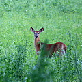 Neal  Eslinger - Young White-Tailed Deer