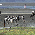 Tony Murtagh - Zebra and Wildebeest