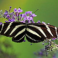 David Fitzhugh - Zebra Butterfly