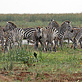 Tony Murtagh - Zebra Group