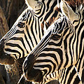 Laurel Powell - Zebra Pair