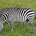 Tony Murtagh - Zebra Pair