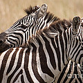 Chris Scroggins - Zebras Friendship