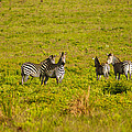 Robert Ford - Zebras in Upemba...
