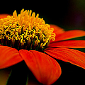 Julie Palencia - Zinnia Bright Orange...