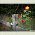 Brian Wallace - Roses and Fence