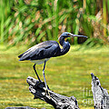 Al Powell Photography USA - Tricolored Heron