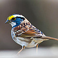 Jiayin Ma - White-throated Sparrow