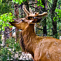 Bob and Nadine Johnston - Browsing Elk in the...