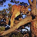 Dennis Hammer - Mountain Lion