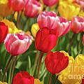Angela Doelling AD DESIGN Photo and PhotoArt - A lot of tulips