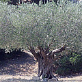 Colette Hera  Guggenheim - Ancient Old Olive Tree...