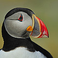 Tony Beck - Atlantic Puffin Portrait