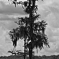 Calvin Humble - Bald Cypress