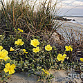Daniel Dempster - Beach Evening Primrose...