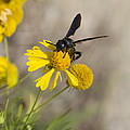 Kathy Clark - Bitterweed and Black Wasp
