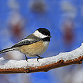 Tony Beck - Black-capped Chickadee...