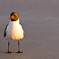 Adam Pender - Black Headed Gull