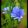 Susanne Still - Blue Chicory Flower