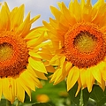 Kathleen Struckle - Bright Sunflowers