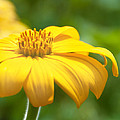 Carolyn Meuer-Pickering of Photopicks Photography and Art - Bright Yellow Flower