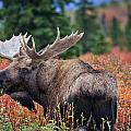 Thomas Payer - Bull Moose in the Fall...