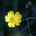 James Hammen - Buttercup - Ranunculus...