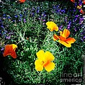 Nina Prommer - California Poppy