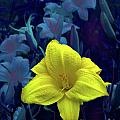 EGiclee Digital Prints - Day Lily At Midnight