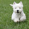 Jon and Chris Zombek - Emma the westie on the...
