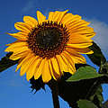 Colette Hera  Guggenheim - Garden Sunflower October
