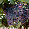 Johnson Moya - Grapes Bunch
