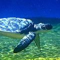 Karon Melillo DeVega - Green Sea Turtle