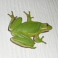 Mother Nature - Green Tree Frog - Hyla...