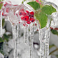 Sarah Schroder - Iced Holly