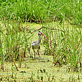 Al Powell Photography USA - Immature Ibis