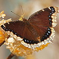 Byron Varvarigos - Mourning Cloak Butterfly