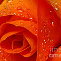 Tracy  Hall - Orange Citrus Rose