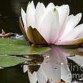 Darleen Stry - Pale Pink Lily reflection
